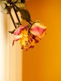 Roses jaunes rouges sèches sur le fond orange de mur Images libres de droits