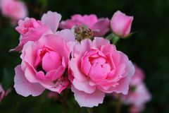 Roses jumelles Image stock