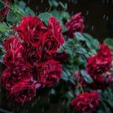 13 Garden Roses Spring Rain Stock Photo