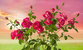 Roses on landscape background royalty free stock images