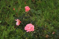 Roses on the lawn. Bloomed roses on the lawn Royalty Free Stock Photos
