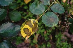 Roses` leaf disease Stock Photography