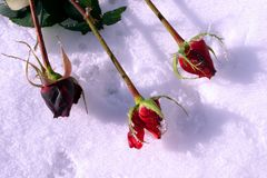 Roses lie in the snow stock images