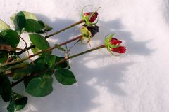 Roses lie in the snow stock image