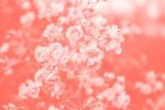 Roses. Living coral background stock photo