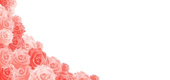 Roses in Living Coral isolated on white Background, Header, Cover. Background picture of an arrangement of Roses in the trendcolor of the year 2019: LIVING CORAL stock photo