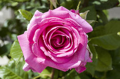 Free Roses, Love Symbol Roses, Pink Roses For Lovers Day, Natural Roses In The Garden Royalty Free Stock Photography - 94401647