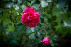 Roses roses lumineuses Photographie stock