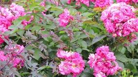 Roses roses lumineuses sur un buisson vert banque de vidéos