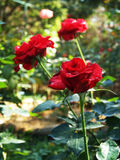 Roses marron Images stock