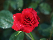 Roses marron rouges Images stock