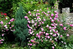 Roses in midsummer in garden Royalty Free Stock Photos