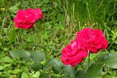 Roses in midsummer. Picture of the rose garden in mid-summer royalty free stock image