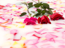 Roses in milk bath Royalty Free Stock Images