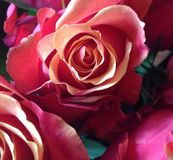 Roses molles images stock