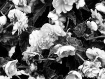 Roses Mono royalty free stock photo