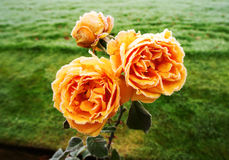 Roses with morning frost Royalty Free Stock Photography