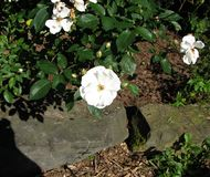 Roses on mulch. White roses on bark mulch royalty free stock image