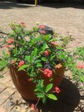 Roses n thorns Stock Image