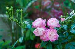 Roses naines roses dans le jardin Photo stock