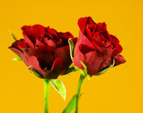 Roses named Black Maddona Stock Images