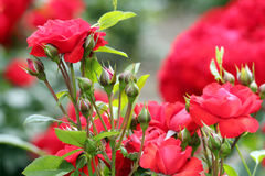 Roses nature spring scene Royalty Free Stock Photography