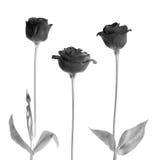 Roses noires Photographie stock libre de droits