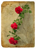 Roses. Old postcard Stock Photos