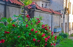 Roses on old wall background in Kaunas Royalty Free Stock Image
