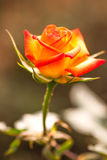 Roses orange Royalty Free Stock Photo