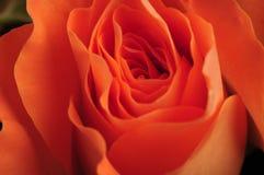 Roses oranges Image stock