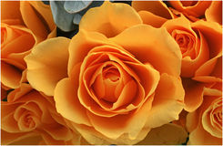 roses oranges Photos stock
