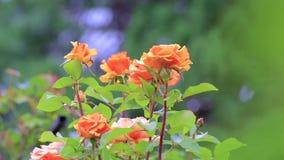 Roses oranges avec les feuilles vertes banque de vidéos