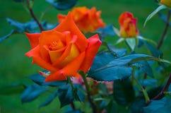 Roses oranges en été Photos libres de droits