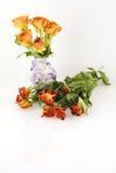 Roses oranges, fraîches contre défraîchi Image stock
