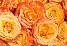 Roses oranges sous la lumière du soleil lumineuse Image stock