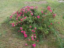 Roses, Outside, Leaves, Tree, Close up, Grass, Dried grass, Rotted tree, Log. Roses on a summer day by rotted stump in the summer Stock Photos