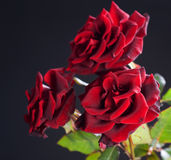 Roses over black Stock Image