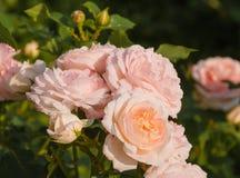 Roses Royalty Free Stock Photos