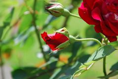 Roses parfumées rouges fleurissant dans le jardin photographie stock