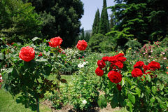 Roses In Park Royalty Free Stock Photos