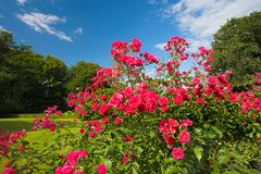 Roses in the park Stock Images