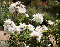 Roses park Royalty Free Stock Photo