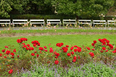 Roses in park. Focus on benches Stock Photography