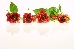 Roses of passion, love and jealousy Royalty Free Stock Photos