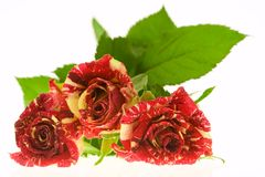 Roses of passion, love and jealousy Stock Photos