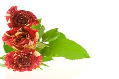 Roses of passion, love and jealousy Stock Image