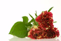 Roses of passion, love and jealousy Royalty Free Stock Images
