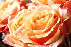 Roses in Pastel Color Royalty Free Stock Photography