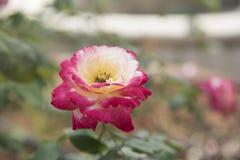 Roses, pastel Royalty Free Stock Photos
